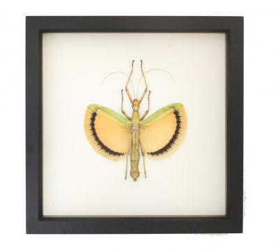 Framed Walking Stick Tagesoidea nigrofasciata