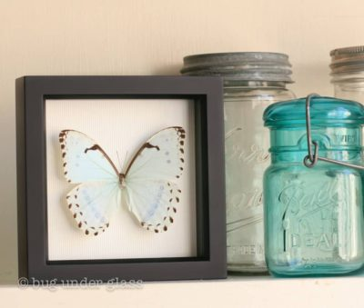 real mint morpho butterfly display
