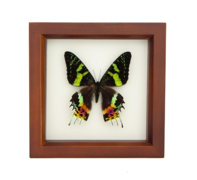 Framed Madagascan Sunset Moth (Chrysiridia rhipheus)