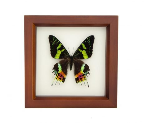 real sunset moth shadowbox