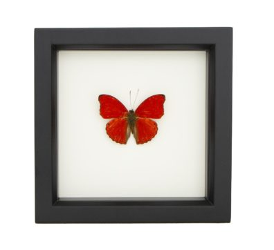 Framed Sangria Butterfly (Cymothoe sangaris)