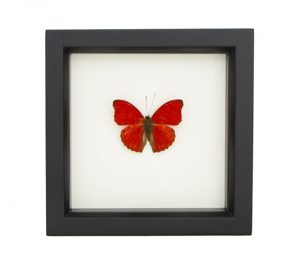red butterfly taxidermy