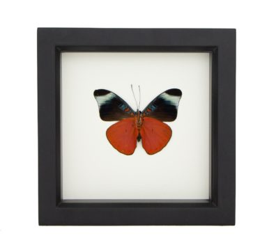 Framed Red Flasher Butterfly verso (Panacea prola)