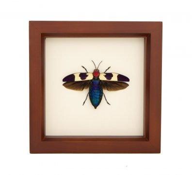 Framed Red Speckled Jewel Beetle (Chrysochroa buqueti rugicollis)