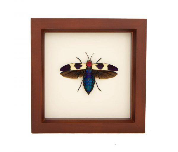 framed red speckled jewel beetle