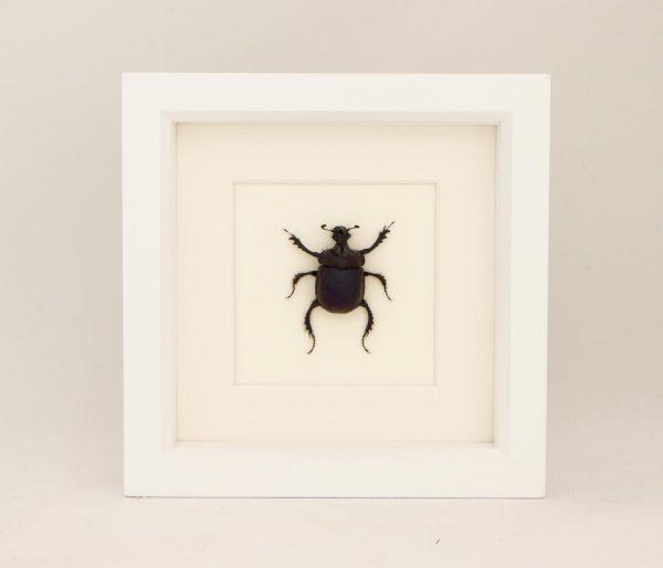 scarab beetle white frame