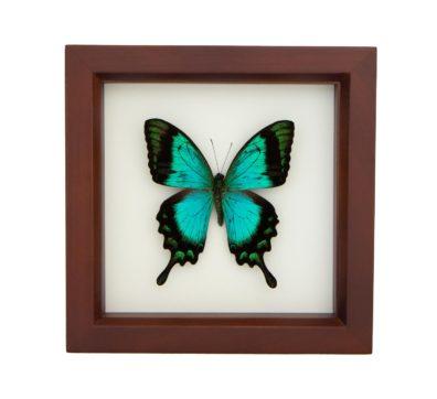Framed Sea Green Swallowtail (Papilio lorquinianus)