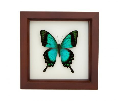 Framed Sea Green Swallowtail Walnut