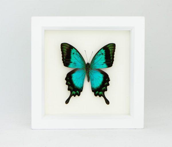 Framed papilio lorquinanus albertisi