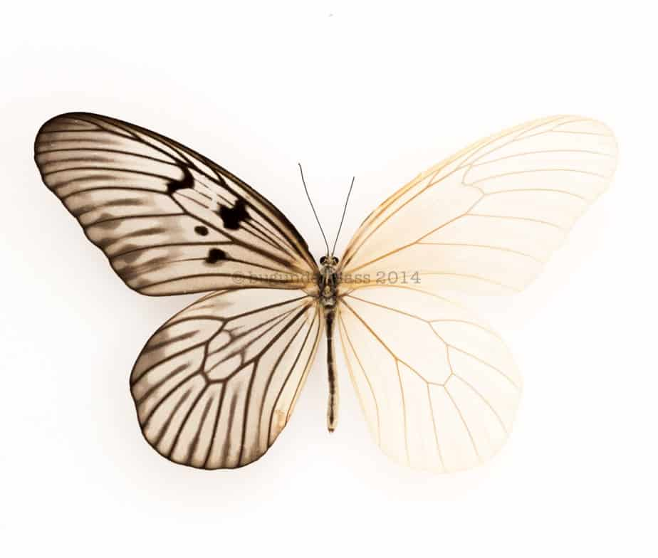 skeleton butterfly