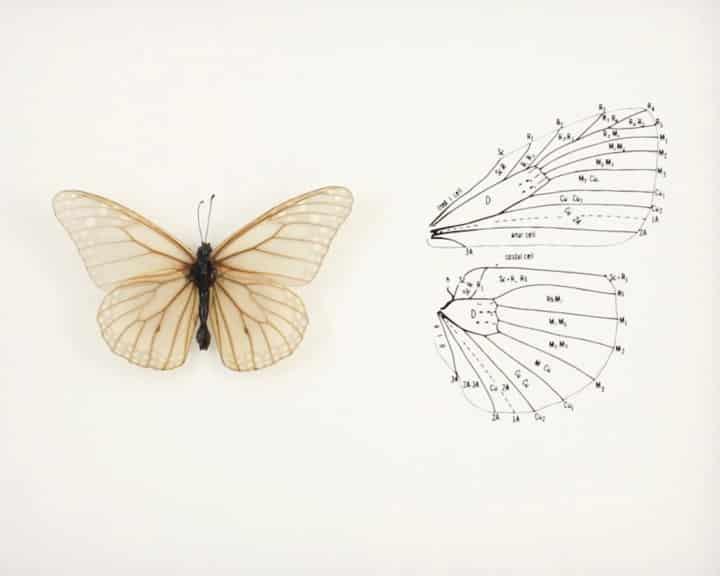 skeletonized-butterfly-2jpg