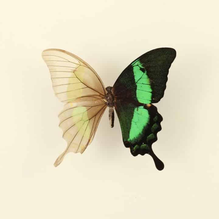skeletonized-butterfly-3
