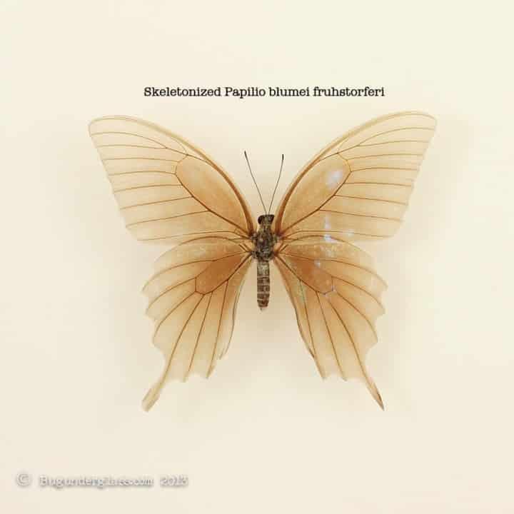 skeletonized-butterfly