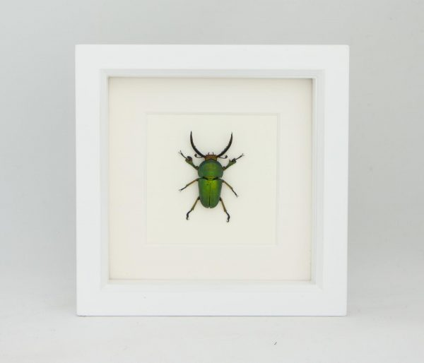 stag beetle white frame