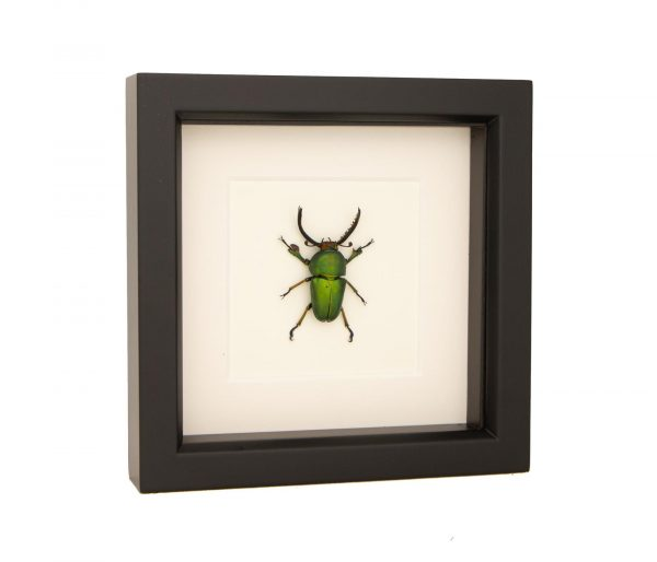stag beetle taxidermy