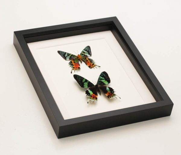 sunset moth collection