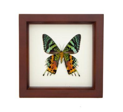 Framed Madagascan Sunset Moth verso (Chrysiridia rhipheus)
