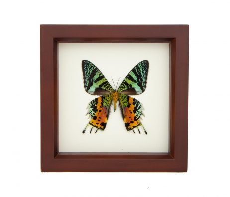 sunset moth taxidermy