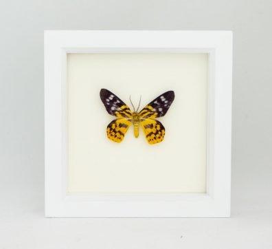 Framed False Tiger Inchworm Moth (Dysphania militaris)