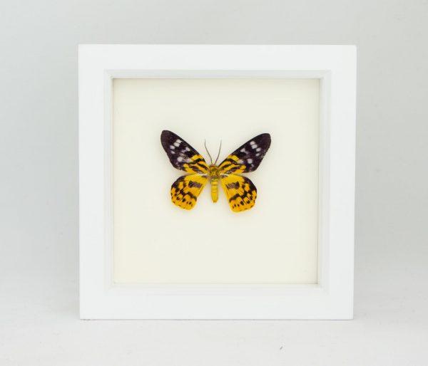 tiger inchworm moth taxidermy