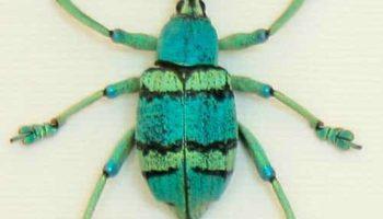 weevil-specimen