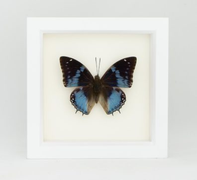 Western Blue Charaxes Butterfly (Charaxes smaragdalis)