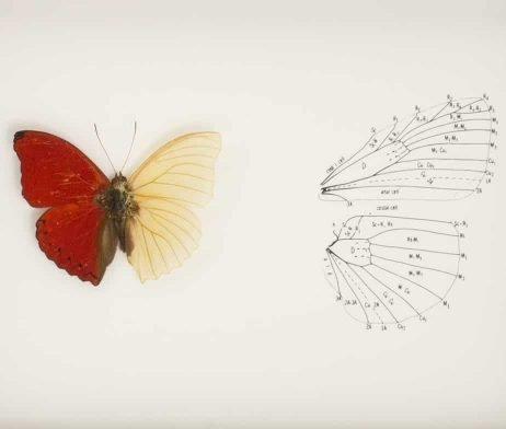 butterfly wing anatomy