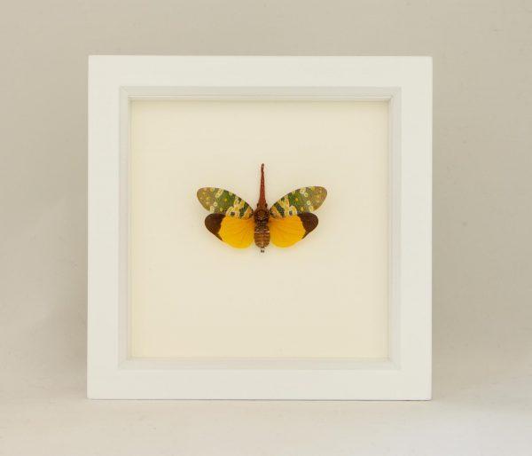 framed fulgora specimen