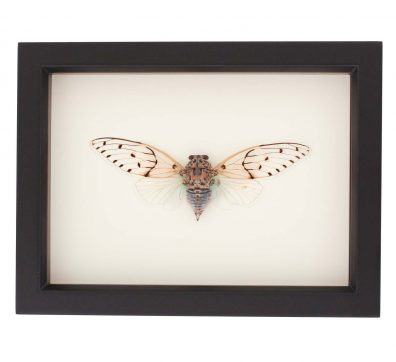 Framed Ghost Cicada (Ayuthia spectabile)