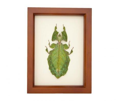 framed giant walking leaf