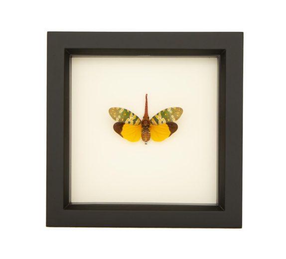 framed specimen fulgora viridirostris