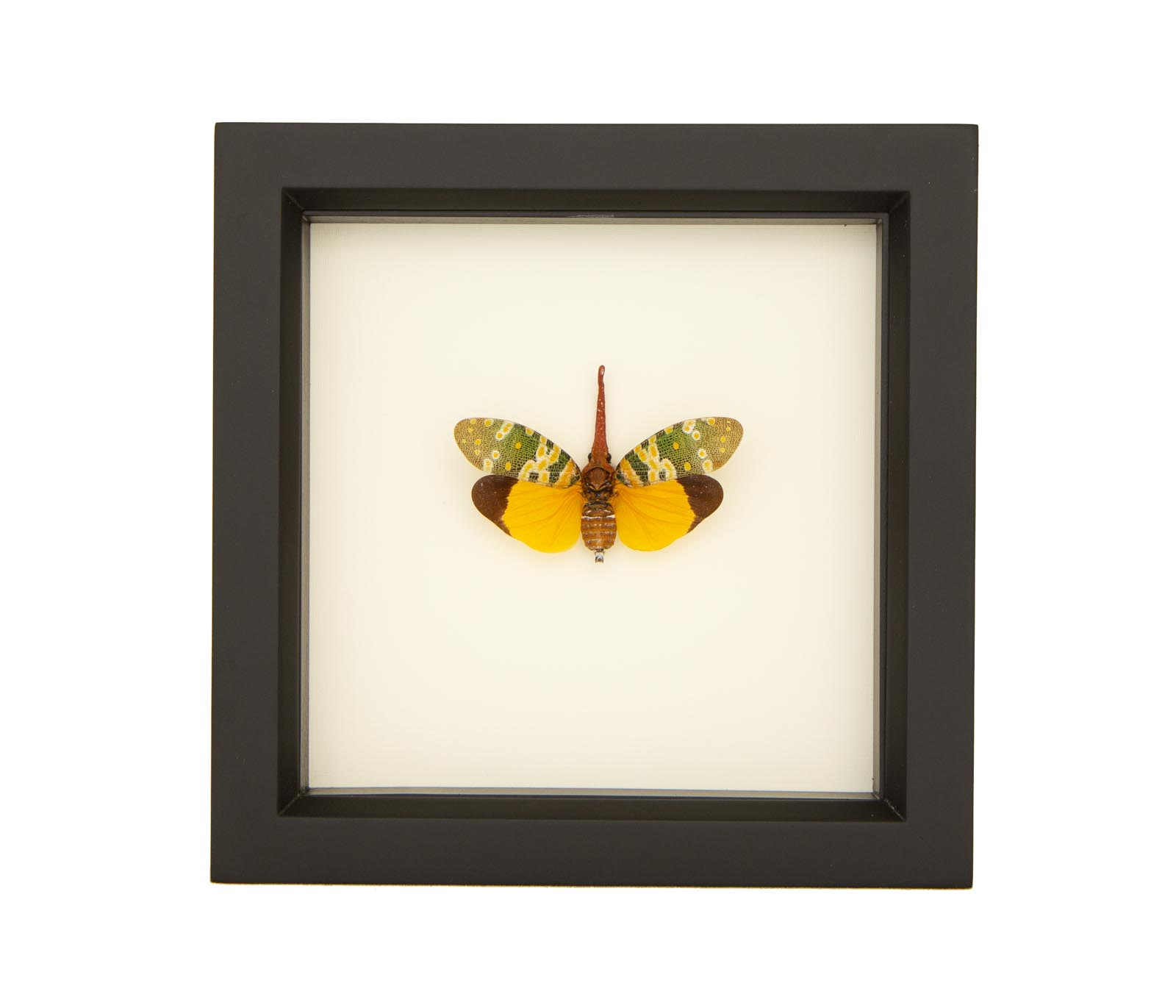 Bug art Real lantern bug with clear quartz and smokey quartz framed taxidermy art Oddities. Ethically sourced