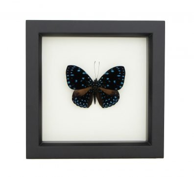 Framed Starry Night Butterfly (Hamadryas laodamia)