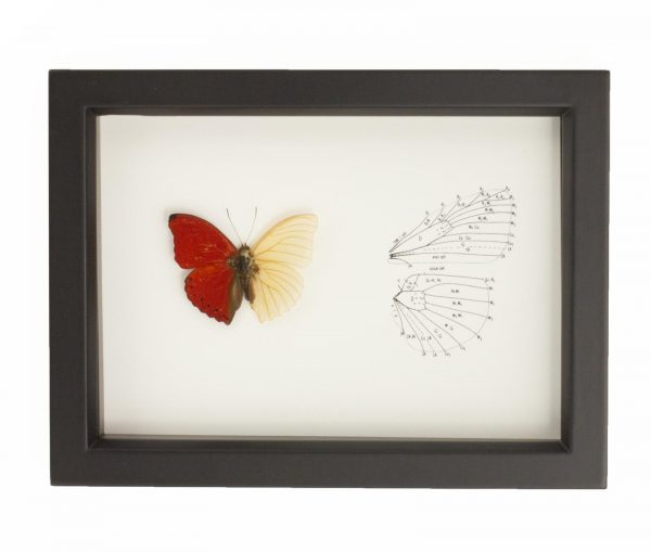 red butterfly skeleton
