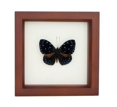 Framed Starry Night Butterfly (Hamadryas laodamia)