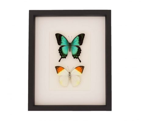 butterfly set shadowbox