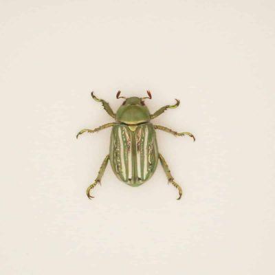 Chrysina gloriosa scarab
