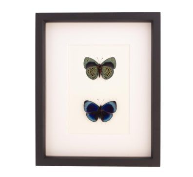 Framed Darwin Butterfly Collection