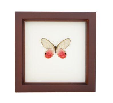 Framed Pink Glasswing Butterfly (Cithaerias merolina)