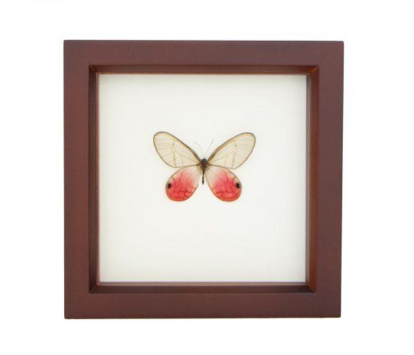framed cithaerias merolina
