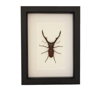 Framed Pincher Beetle (Cyclommatus metallifer)