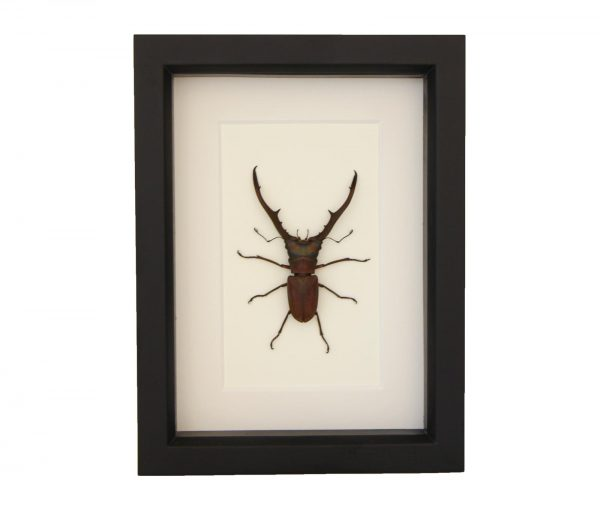 framed Cyclommatus metallifer