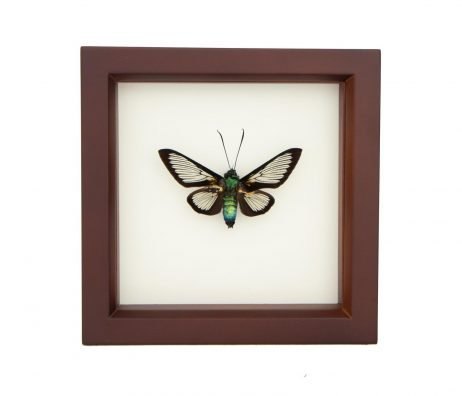 framed bee mimic moth