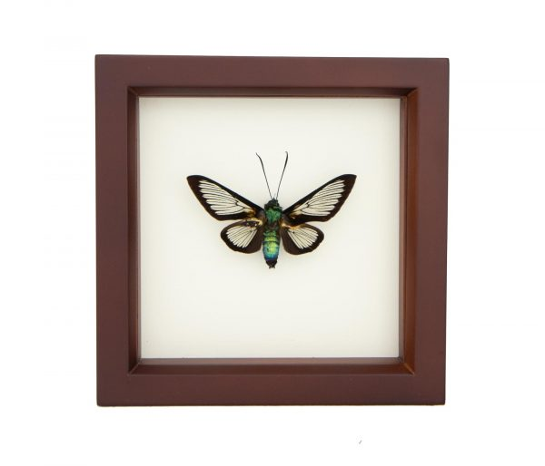 framed bee mimic moth