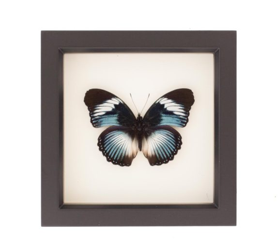 framed blue diadem butterfly