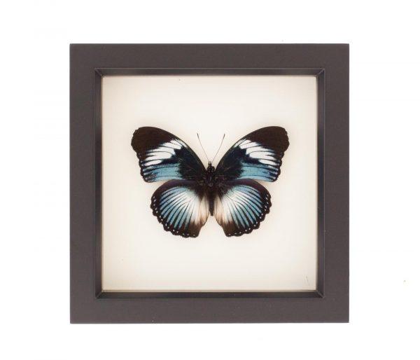 framed blue diadem butterfly