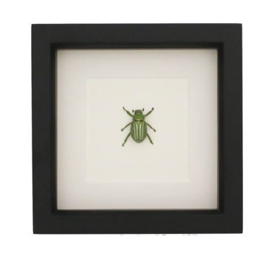 Framed Chrysina gloriosa Beetle