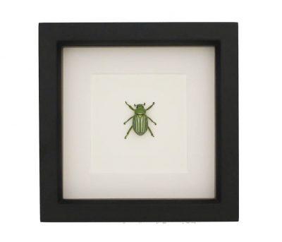 framed chrysina gloriosa