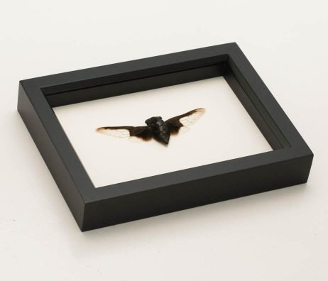 framed batwing cicada