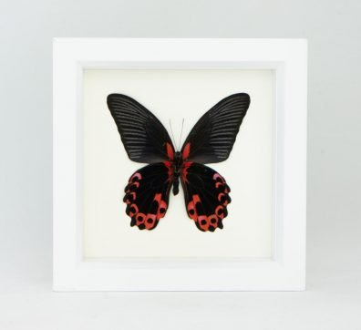 Framed Scarlet Mormon Butterfly verso (Papilio rumanzovia)